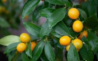 Цитрусовое дерево грейпфрут фото сортов как растет и где