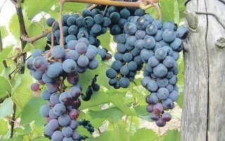 Выращивание винограда левокумский