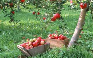 Сорта груш для центрального черноземья сад и огород