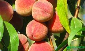 Тонкости выращивания колоновидного персика