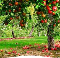 Внесение удобрений осенью под плодовые деревья