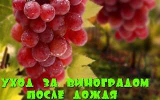 Виноград как правильно провести обработку после дождя