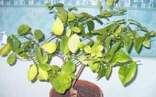 Удобрения для цитрусовых растений в домашних условиях