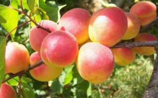 Разновидности самоплодных абрикосов