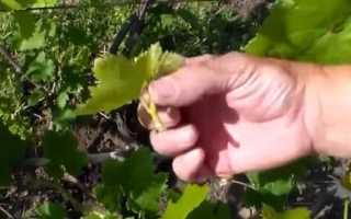 Виноград причины и правила пасынкования