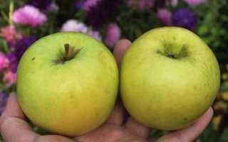 Яблоня брянское золотистое розовое описание сорта фото отзывы