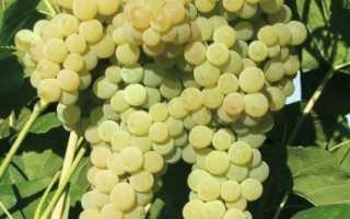 Виноград лакемонт описание сорта