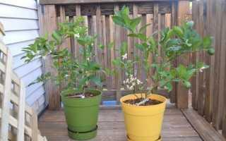 Особенности пересадки лимонного дерева в новый горшок