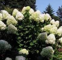 Зимовка гортензии садовой
