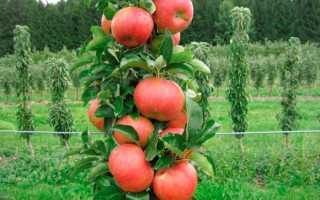 Случайно выросшая ветвь прародительница колоновидных яблонь