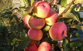 Описание характеристики и подвиды яблони сорта услада тонкости выращивания