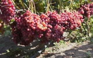 Характеристики винограда велес