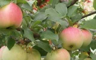 Сорт яблони вымпел