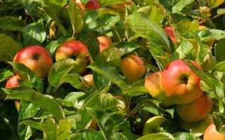 Черенкование яблони весной