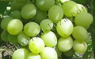 Характеристика винограда продюсер