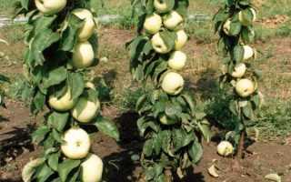 Особенности колоновидной яблони президент