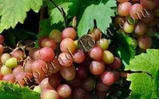 Сорт винограда новочеркасский красный