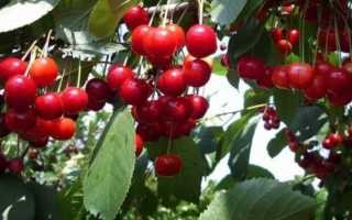 Выращивание вишни быстринка