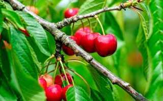 Посадка саженцев вишни осенью