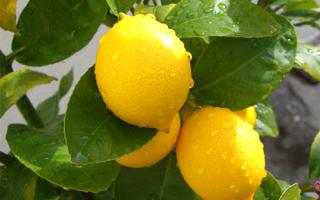 Оранжевый лимон мейера