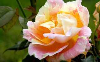 Розы персикового цвета фото