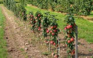 Колоновидные сорта яблонь