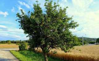 Почему груша не цветет и на ней нет плодов